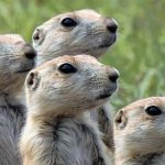 fws-drones-vaccine-prarie-dogs-ferrets-us